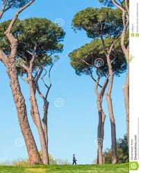 pine trees stock photo image 44882947