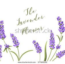 lavender flowers lavender flower vector free vector stock graphics