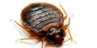 Bed Bugs In Ohio Bed Bugs Infestation Could Spread Chagas Parasite Eco Therm Llc