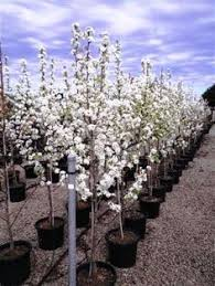 search results acorn farms wholesale trees shrubs perennial
