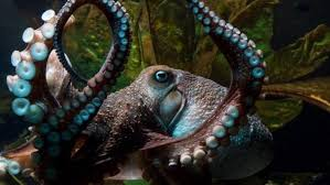 inky the octopus makes a break for it escapes aquarium home the