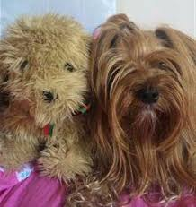 shorkie haircut photos choosing the best brush for a yorkshire terrier