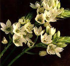 of bethlehem flower of bethlehem