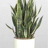Best Plants For Bedroom Pin By Elma Pushkina On Sansevieria Pinterest Low Light Plants
