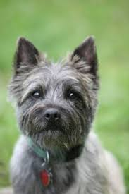 cairn terrier haircuts 186 best cairn terriers images on pinterest cairn terrier