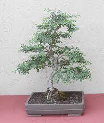 bonsai tree chinese elm bonsai pinterest bonsai chinese elm