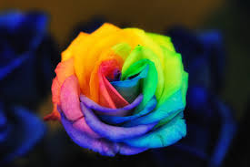 multicolored roses rainbow roses multicoloredroses