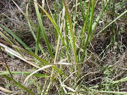 vascular plants of the gila wilderness vascular plants of the gila wilderness iris missouriensis