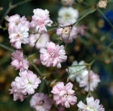 baby s breath flower gypsophila