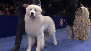 bedlington terrier shaved relive the 2015 national dog show herding group u2013 nbc sports