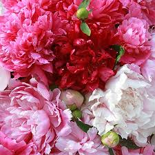 Peonies For Sale The 25 Best Peony Plants For Sale Ideas On Pinterest Tomato