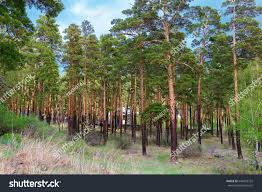 beautiful pine forest national nature park stock photo 644233732