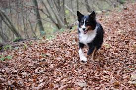 3 legged australian shepherd top 10 dog breeds for adventure junkies outdoor revival