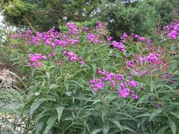 new jersey native plants south jersey native plants august 2014 plant of the month new