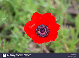 close up of a red poppy anemone or spanish marigold anemone stock