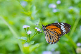 royalty free butterfly common tiger and flower pictures images and