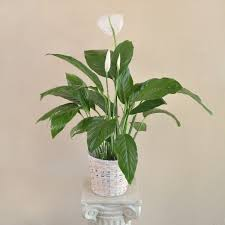 peace lilly spathiphyllum peace in camarillo ca flower power