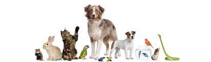 australian shepherd queensland dog model for hire sunshine coast qld paws claws u0026 tails u2013 paws