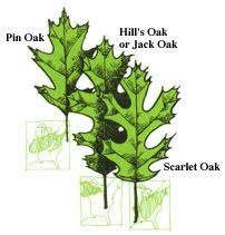 different types of trees tree finder leaf identification part 2