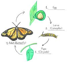butterfly life cycle coloring pages frog colouring sheets free for