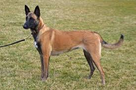 belgian sheepdog mn belgian malinois for sport police personal protection and family