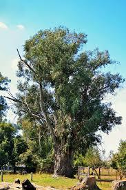free images flower produce botany eucalyptus shrub oak