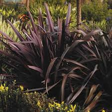 new zealand flax purpureum phormium tenax ornamental grass