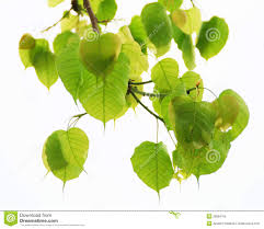 sacred fig leaves royalty free stock photo image 28084755