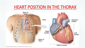 Pictures Of The Anatomy Of The Human Body In What Anatomical Position Of The Body Is The Heart Located