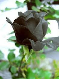 real black roses black flower 5 seeds patio lawn
