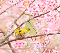 white eye bird on cherry blossom tree stock image image of floral