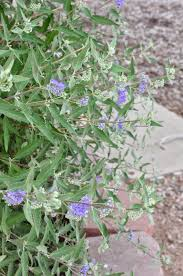 russian native plants co horts plant this not that russian sage edition