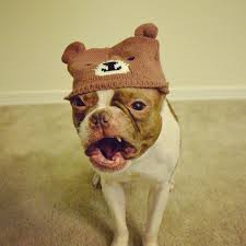 Boston Terrier Meme - baxter the boston terrier meme machine is back ibostonterrier com