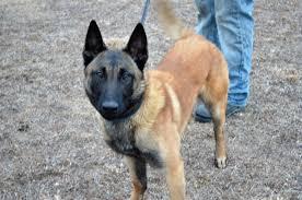 belgian shepherd north carolina our dogs u2014 k9 proving ground inc