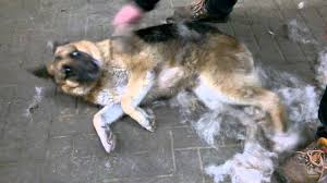 australian shepherd shedding sleekez shedding tool sleekez used on a dog he just loves it