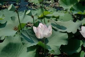 navigating through life the lotus flower a perfect analogy of