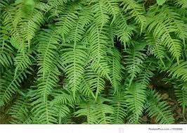 photograph of garden ferns