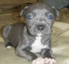 american pitbull a terrier blue nose pitbull 15 interesting facts about this dog