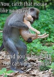 Funny Monkey Meme - cat n monkey bidness going down cats cats cats pinterest