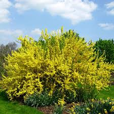 fast growing shrubs hedge plants fast growing trees