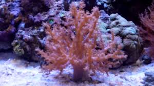 how to care for kenya tree coral