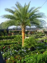 sylvester palm tree sale palm trees for ta brandon riverview apollo