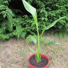 palmier du chili ravenala madagascariensis l u0027arbre du voyageur