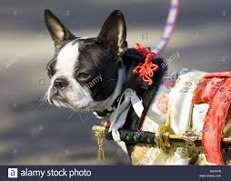 samurai halloween costume dog in samurai halloween costume stock photo royalty free image