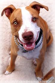 american pit bull terrier lab mix 341 best staffordshire bull terrier images on pinterest animals