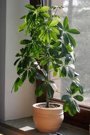 plante d駱olluante chambre plantes dépolluantes sur greenpouce com