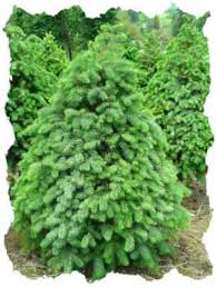 douglas fir fresh christmas trees