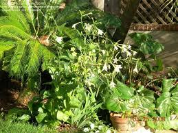 plantfiles pictures nicotiana species flowering tobacco