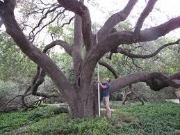 heritage tree live oak at the alamo rivard report