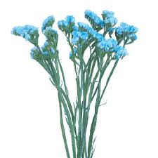 statice flowers statice flower malibu blue tinted farm fresh exports